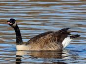Goose speaking