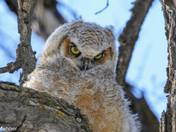 Great Horned Owl - fledgling