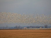 Flight of the Snow Geese