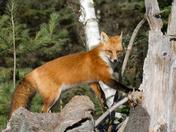 Red Fox (f)