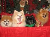 Henderson Pomeranian's