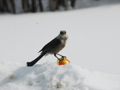 gray jay on my apple