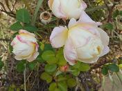 December roses
