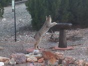 Thirsty bobcat in the backyard!