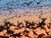 AMAZING MORN SNOWGEESE LAUNCH PT1