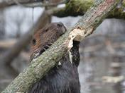Beaver doing what it does best:)