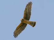 Marsh Hawk in Watsonville wetlands