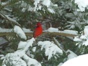 Cardinal in waiting