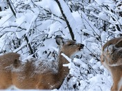 Two does in snow