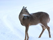 Mother doe eating snow on its skin