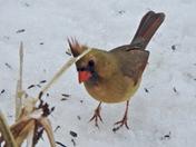 Cardinal 18 Dec 2016