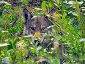 The curious Coyote