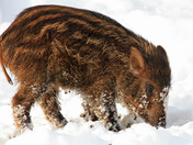Snowy Boar