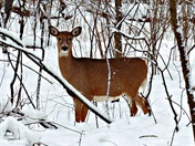 White tail in Winter.