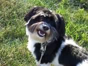Missing Dog! Oreo
