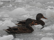 Ducks On Ice