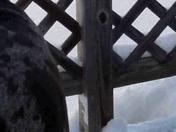 My Danes snow frolick