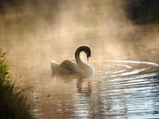 Swan in the morning mist