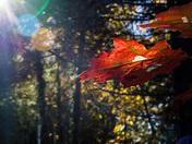 Oak Leaves in the Autumn Sun