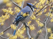 Blue Jay on Witch Hazel