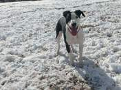 Harley playing in the snow