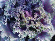 The most purple cabbage