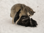 Timber Wolves Playing In  The Snow
