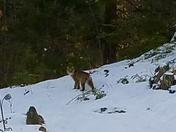 Bobcat visits