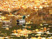 Ducks in The Leaves