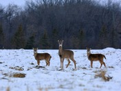 A doe and two fawns alert in winter field