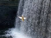 Hummingbird in the Falls