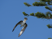 Osprey diving for lunch