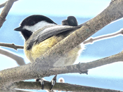 Black capped Chickadee-18 Feb 2015