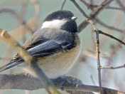 Black capped Chickadee2-18 Feb 2015