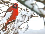 Cardinal-30 Jan 2015