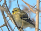 Goldfinch-6 Feb 2016