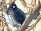 Junco-6 Feb 2016