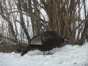 The wild turkeys are back