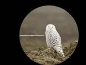 Snowy Owl looking at you!