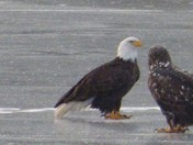 Bald eagle and mate chilling on the pond