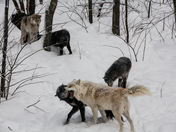 Timber Wolves In A Group