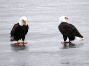 Eagles on the ice