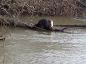 River otter near Harrington River Access and mile marker 12 on American River Pa