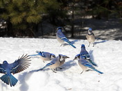 A Bevy of Blue Jays