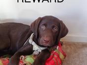 Chocolate Labrador= reward