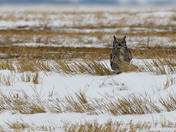 Great Horned Owl on the Prairies