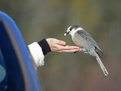 Friendly Gray Jay