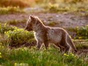 Glowing fox pup
