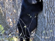 Black Bear Cub Scares the Beejeebers Out of a Tree