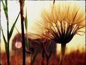 Sow Thistle at Sundown